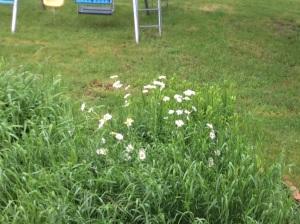 Daisies in bloom.