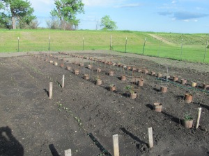 Radishes are up in the foreground.