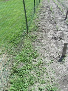 I am thinking of giving in and planting some more peas in this area on the fence line.
