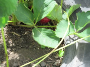 Strawberries are ripening.