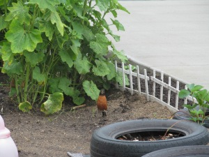 Robin kept hopping closer even when he saw me.