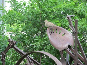 Mourning dove on corn cultivator.