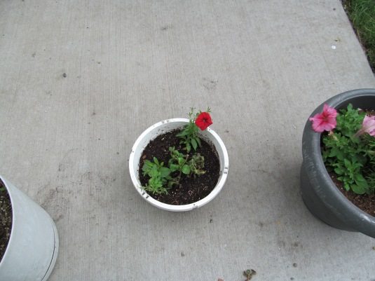 One red petunia opened up. I wasn't sure they would survive since I bought them late.