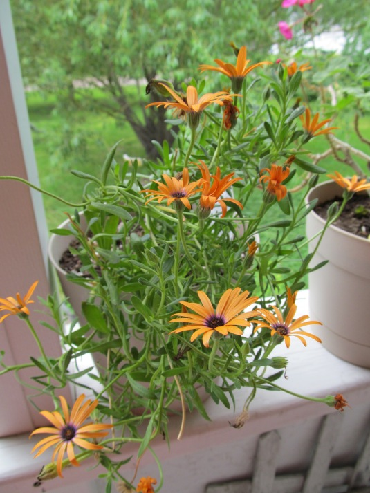 Gerbera daisy is finally blooming again.