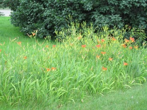 Day lilies at my mom's were a mess, I cleaned them, but forgot to take a new picture, later.