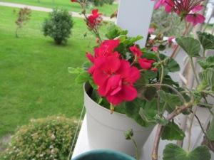 Love this color of geranium.