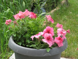 Pink petunias, first time I got this color, will not be my last.