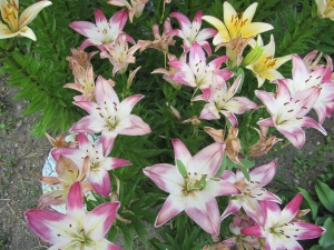 The pink lilies are beginning to fade a bit.