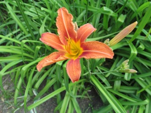 The day lilies are just starting to open.