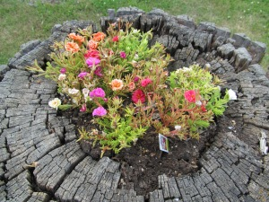 The moss roses in the tree stump.