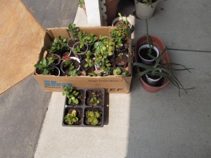 All little plants ready to go on the rummage sale next Saturday.