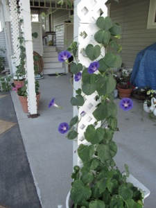 Morning glories are climbing the posts.