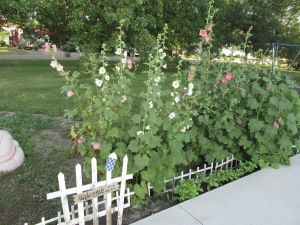 Hollyhocks are finally getting some height and blooming.