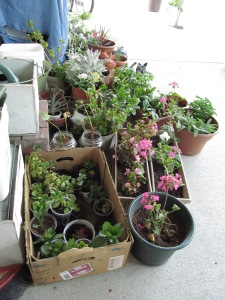 Plants potted for sale at the rummage extravaganza this Saturday.