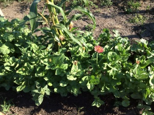 Zinnias outside of the corn to attract pollinators.