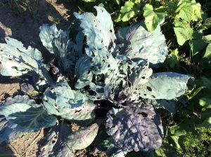 Cabbage before.