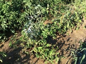 Tomato plant with flour.