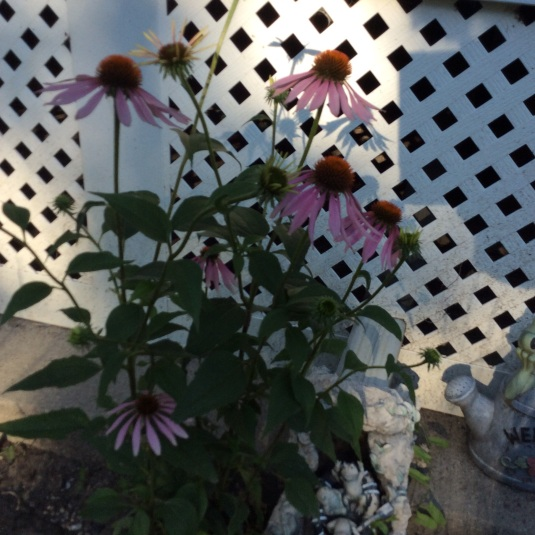 One of my favorite flowers is the Echinacea. I have tried to get more to grow, but so far this is the only one that sprouts. At least it is in super bloom mode.