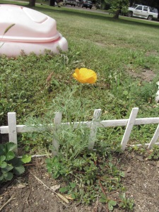 Yellow poppy.