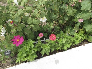 Zinnias in the hollyhocks.