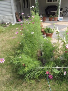 Cosmos with some broken stalks.