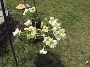 Light yellow colored petunias. Love this color.