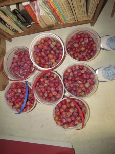 Plums picked this weekend by the daughters and Jaxon.