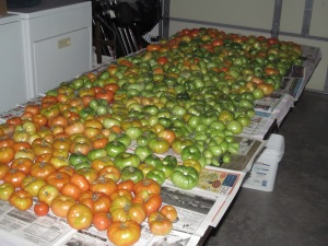 All the tomatoes from the pails ended up on a table in the garage.