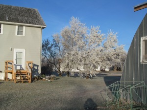 Back door view. The Russian Olive trees still have their leaves and so really held the frost.