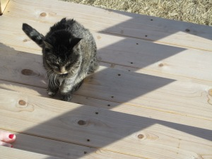 Tigee coming back into the house after some time in the sunshine.