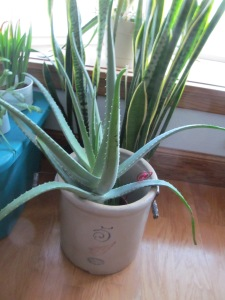 My mother of all Aloe plants