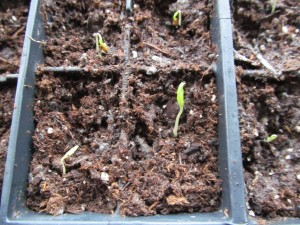 Tomatoes are up.