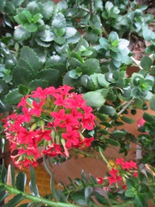 Kalanchoe in bloom.