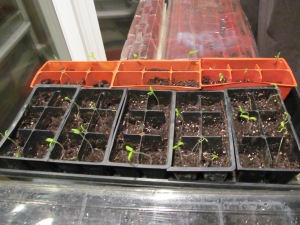 The Heirloom Beefsteak will be ok, too. To the right of them, the peppers are starting to sprout.