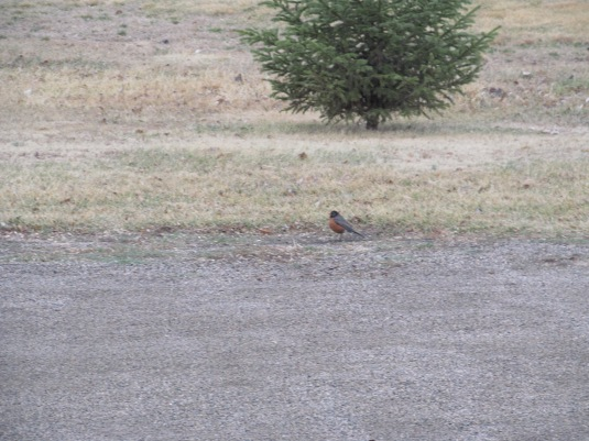 Robin in the roadway. It was raining briefly.