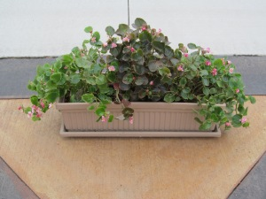 These begonias were in James' classroom all winter.