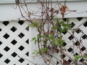 Clematis is coming back again.