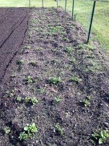 Potatoes need weeding.