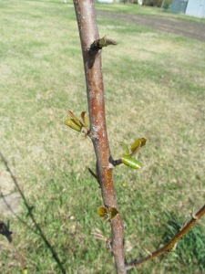 South pear budding.