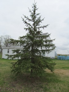 Tallest of the evergreens