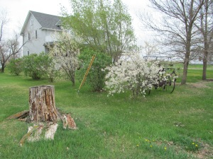 Plum trees and stump.