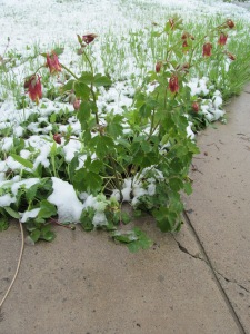 Columbine through the snow at Glenda's house on Monday.