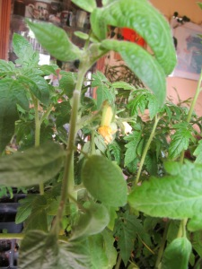 Tomatoes on the plant.