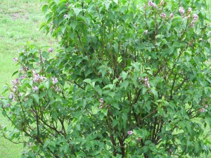 Lilacs in bloom.