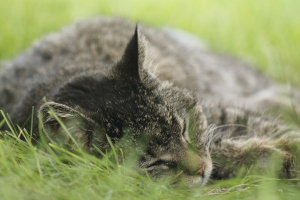 Tigee snoozing in the grass.