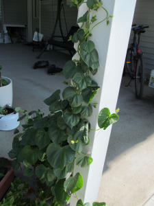 Morning Glories climbing lattice.