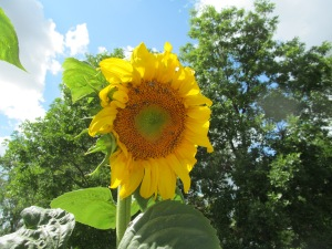 Day four of the sunflower