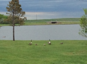 Geese by the shore.