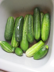 Cucumbers picked today