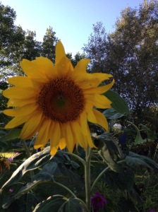 Sunflower in the flower garden